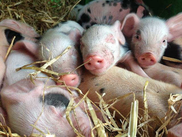 new little piglets