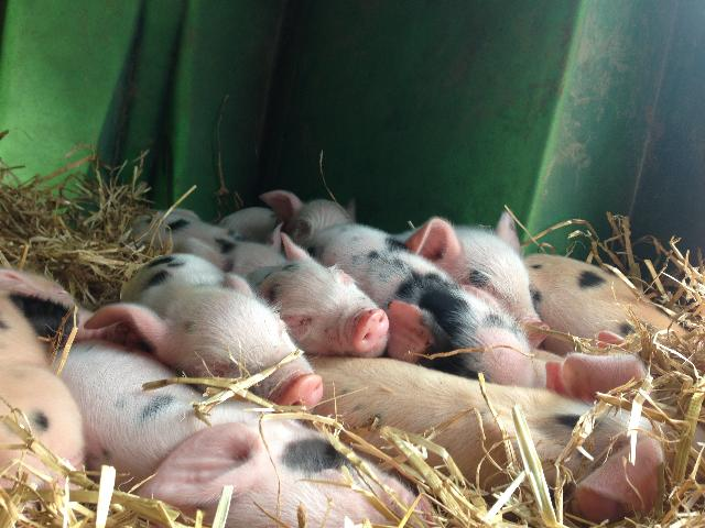 a pile of piglets